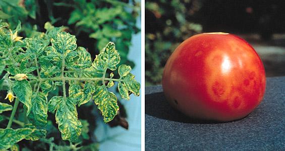 Мозаика на помидорах