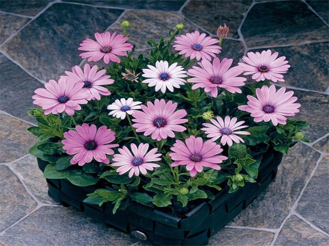 Цветы остеоспермума