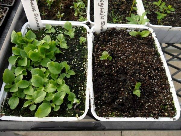 Наперстянка - выращивание роскошного многолетника