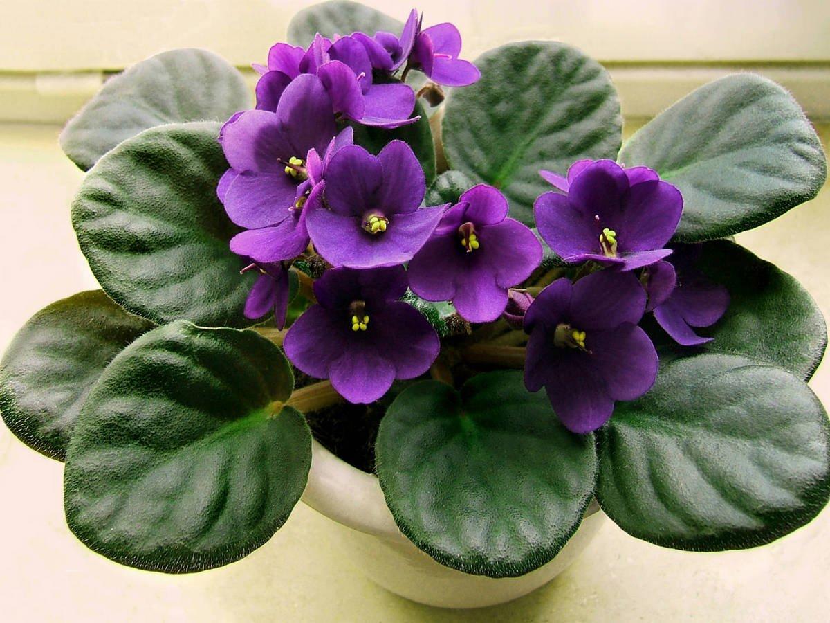 Фиолетовая сенполия