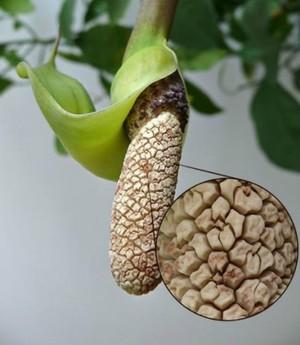 Цветок-початок замиокулькаса