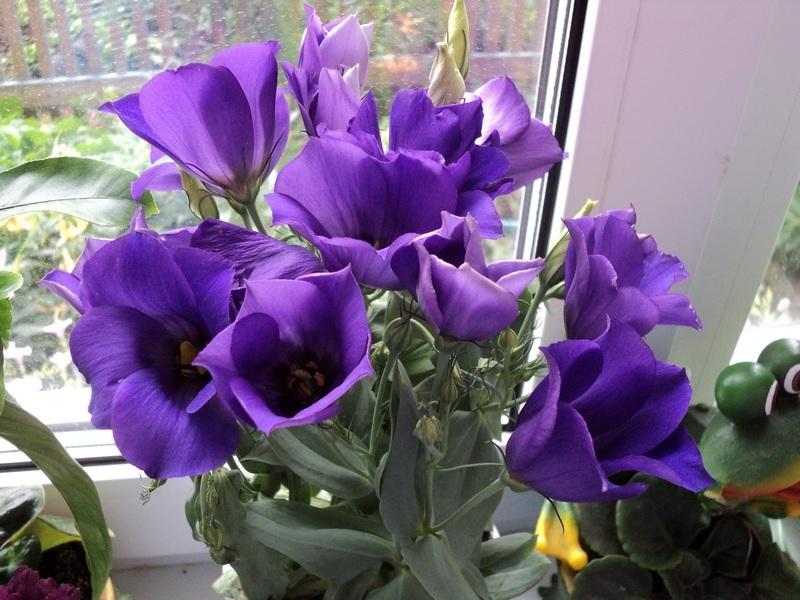 Как вырастить эустому, цветок эустома: посадка, уход