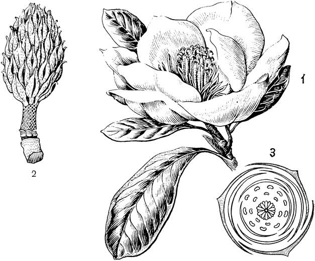 Цветок и диаграмма цветка магнолии