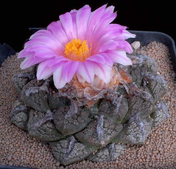 roseocactus