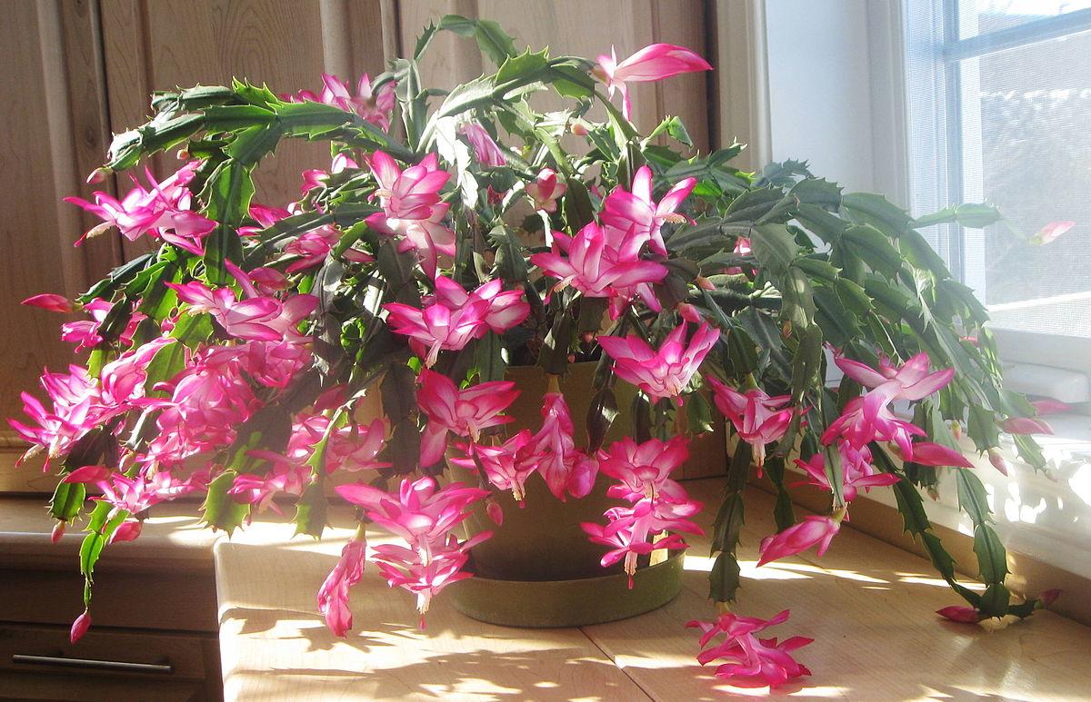 cactus schlumbergera