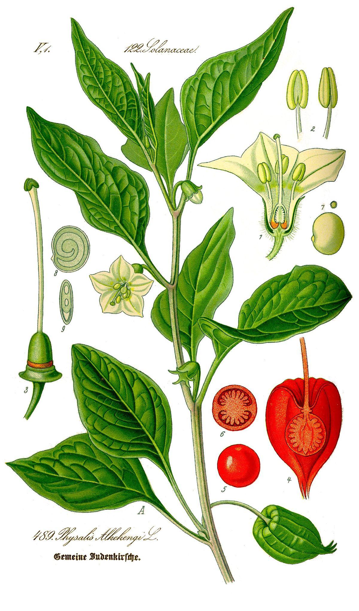 Растение физалис