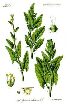 Шпинат растение