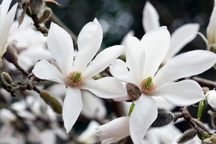 Цветок Magnolia proctoriana