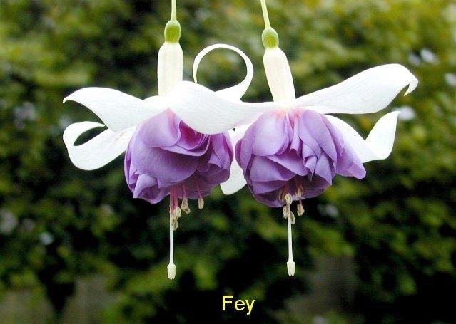 Фуксия Fey