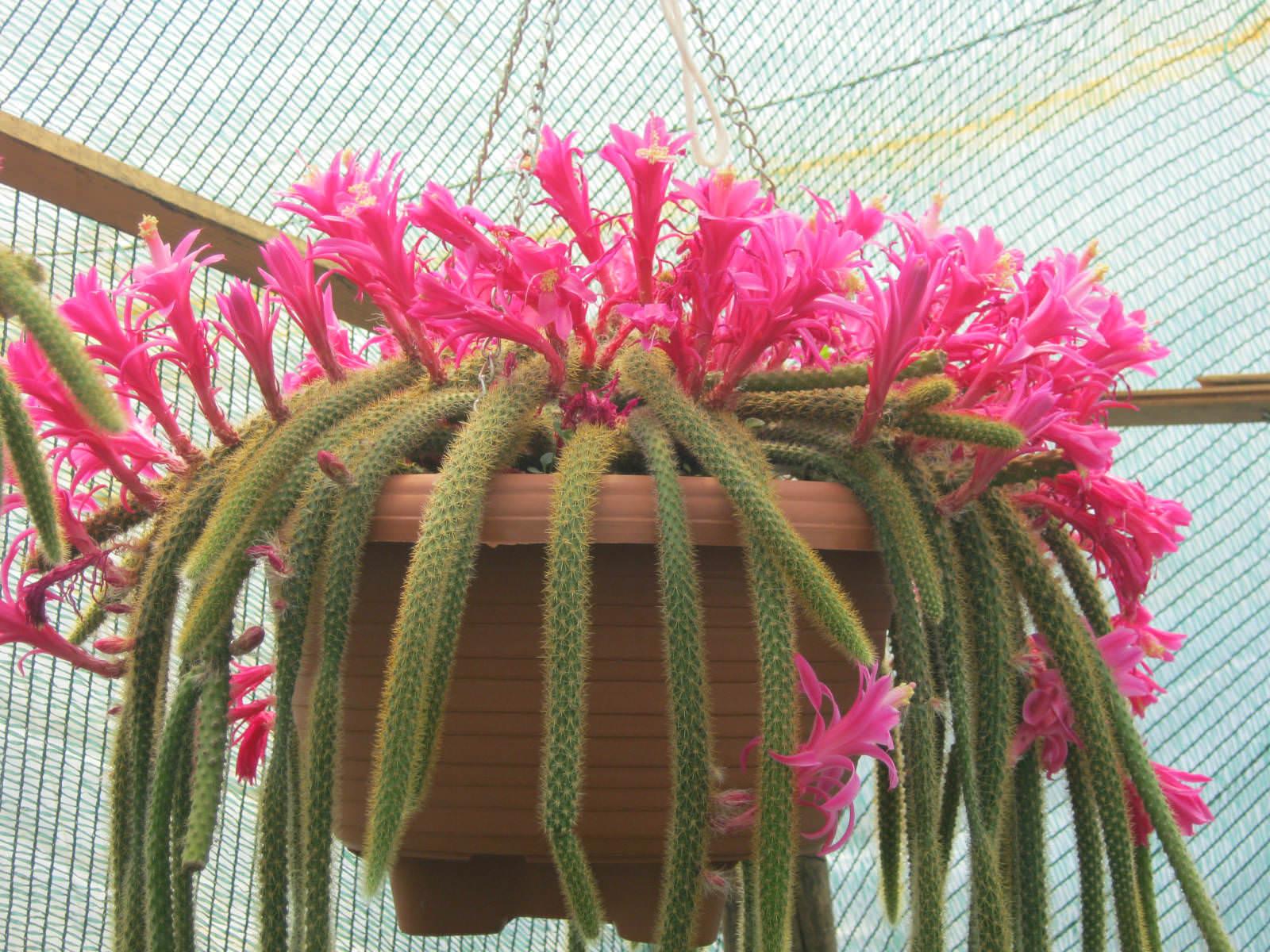 cactus disocactus