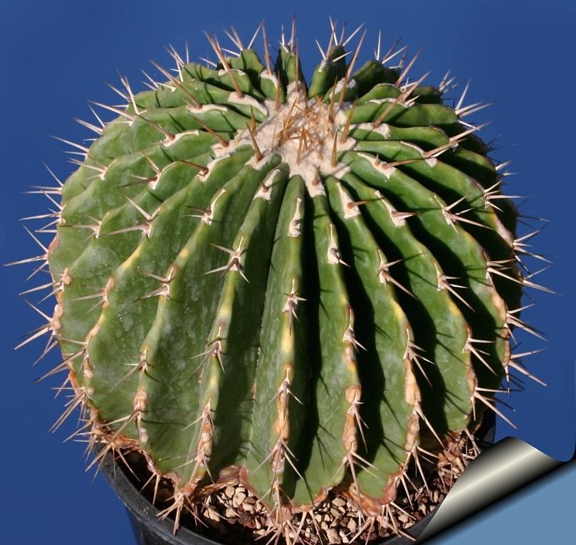 Echinocactus visnaga