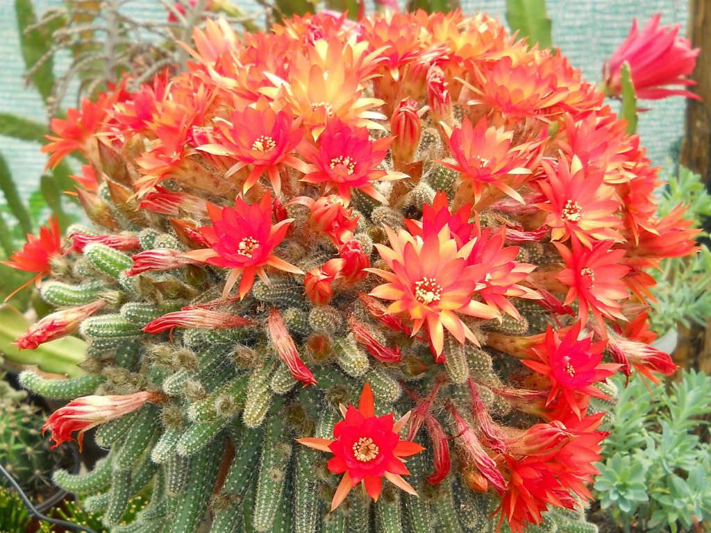 cactus chamaecereus
