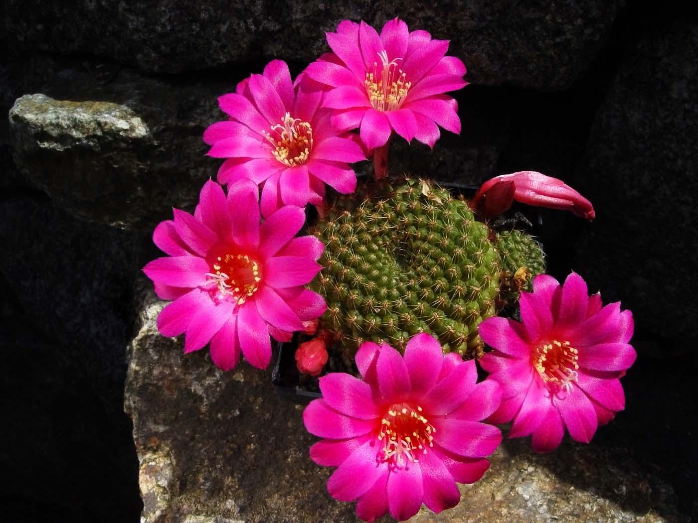 rebutia grandiflora backbg