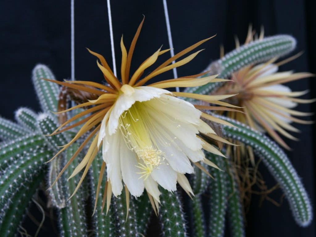 cactus selenicereus