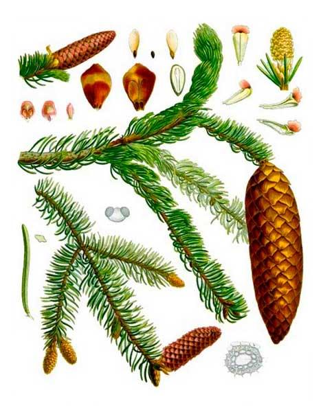 Ветки и плоды ели