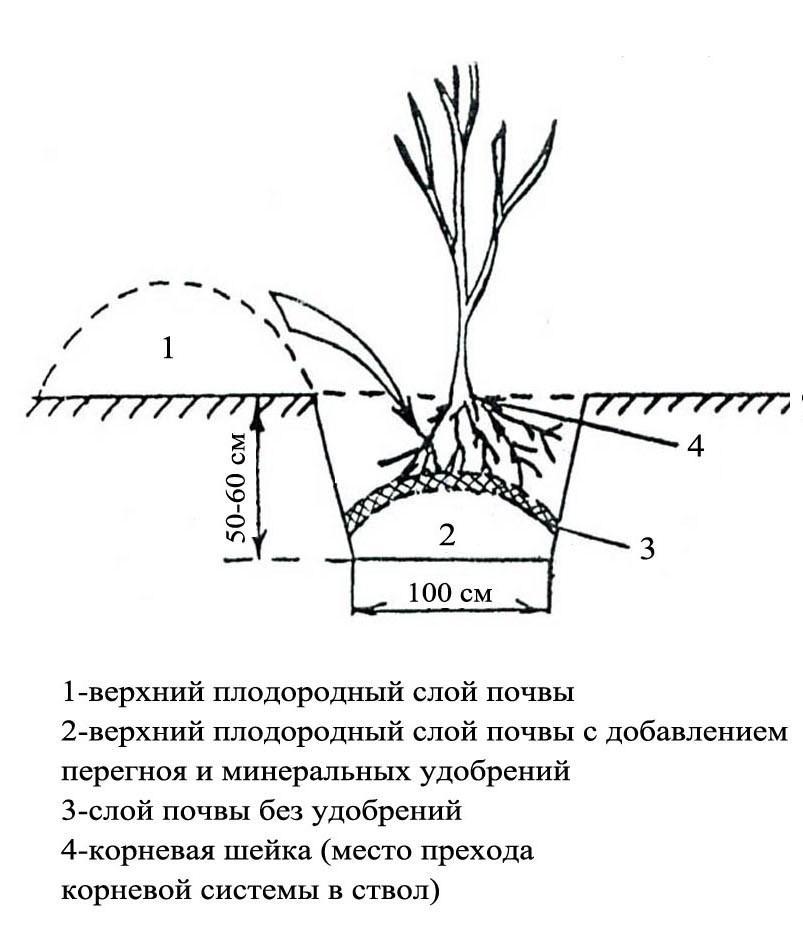 Схема посадки рябины