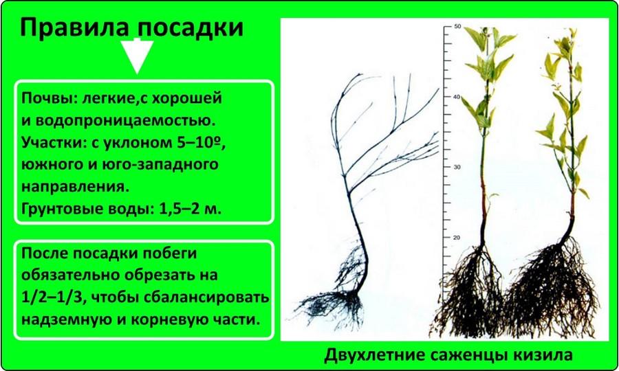 Правила посадки кизила
