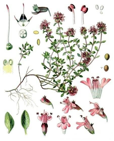 Ботаническое описание тимьяна