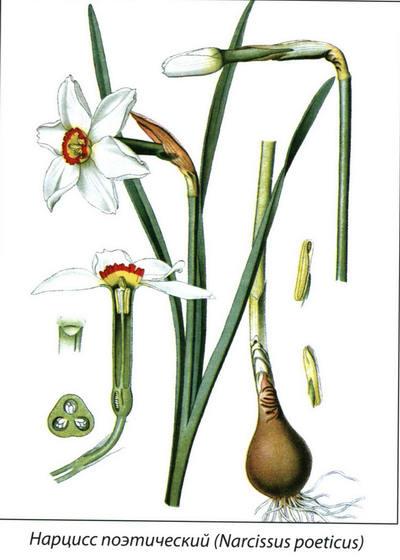 Ботаническое описание нарцисса
