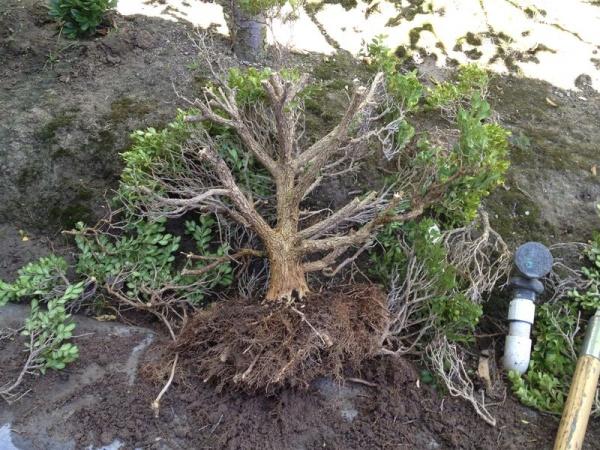Ямадори - дерево бонсай в природе