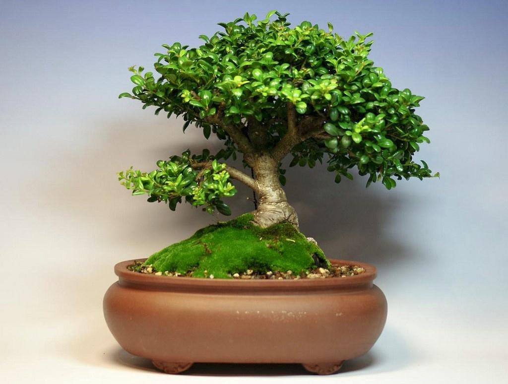 Японское дерево своими руками фото 835
