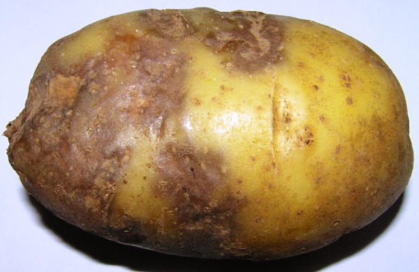 Клубень картофеля с фитофторозом