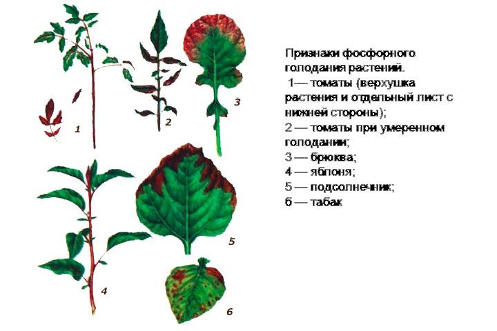 Признаки фосфорного голодания у растений