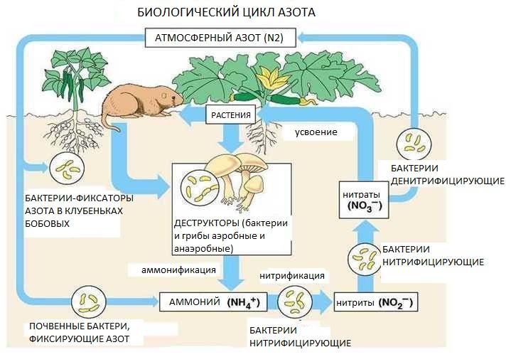 Биологический цикл азота