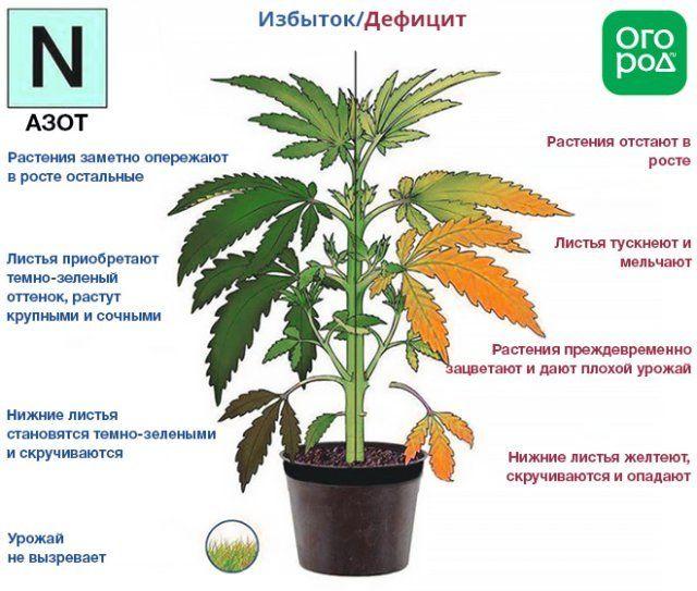 Недостаток и избыток азота в растениях