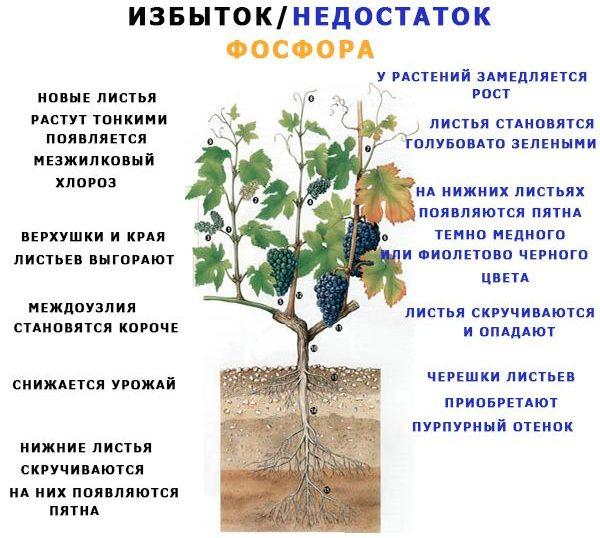 Избыток и недостаток фосфора у растений
