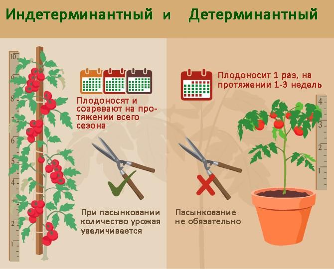 Отличия между детерминантными и индетерминантными помидорами