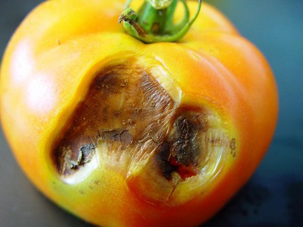 Грибок на томатах
