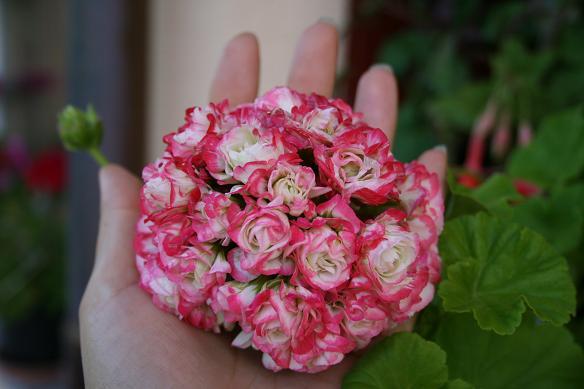 Apple blossom Rosebud