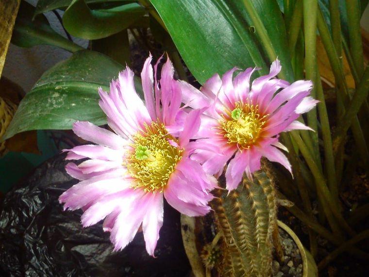 цветение цереуса