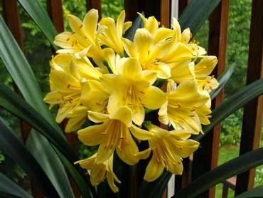Solomone Yellow