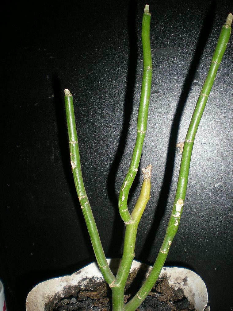 опали листья у педилантуса