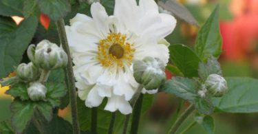 Double blooming white