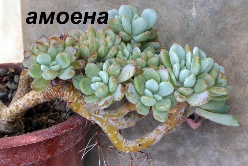 амоена