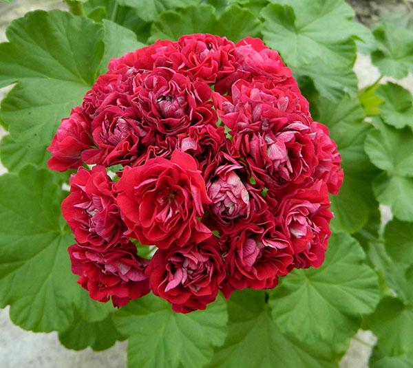 Пеларгония розебудная Margaretha