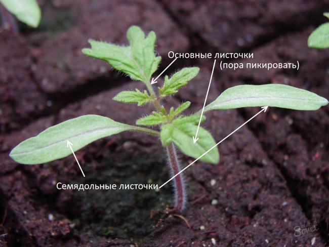 Развитие ростка