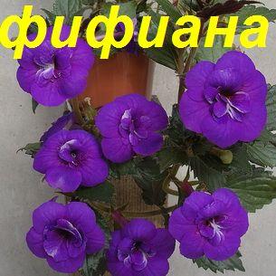 фифиана