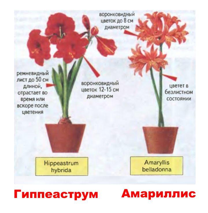Амариллис и гиппеаструм - как отличить один цветок от другого?