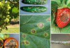 антракноз растений
