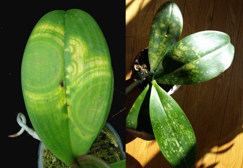 Заражение орхидеи