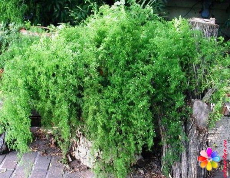аспарагус в саду