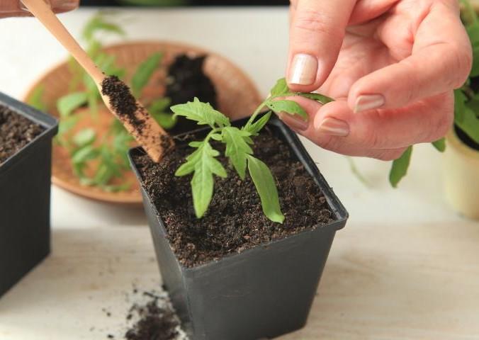 Пикировка помидорной рассады