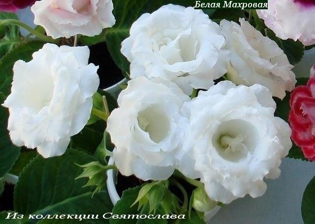 глоксиния махровая белая