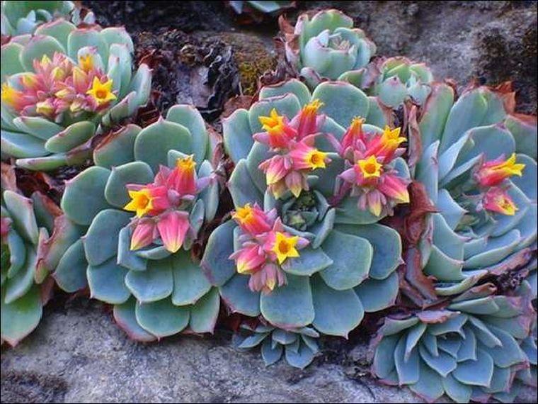 цветение эхеверии