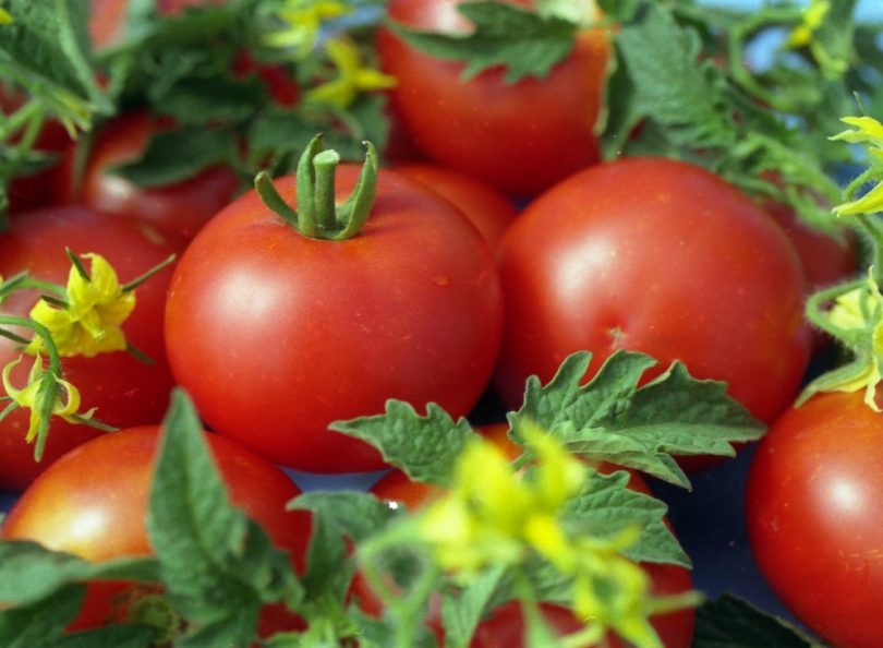 томаты в теплице из поликарбоната