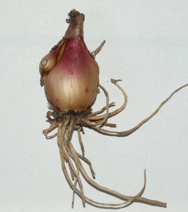 Размножение делением луковицы
